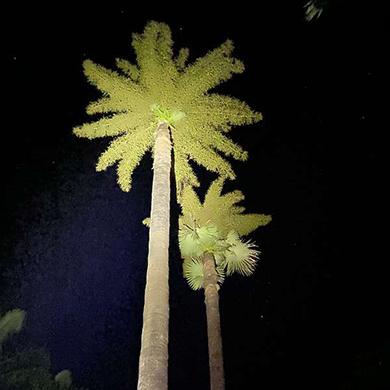 等待50年!西雙版納熱帶植物園今年7株貝葉棕開花