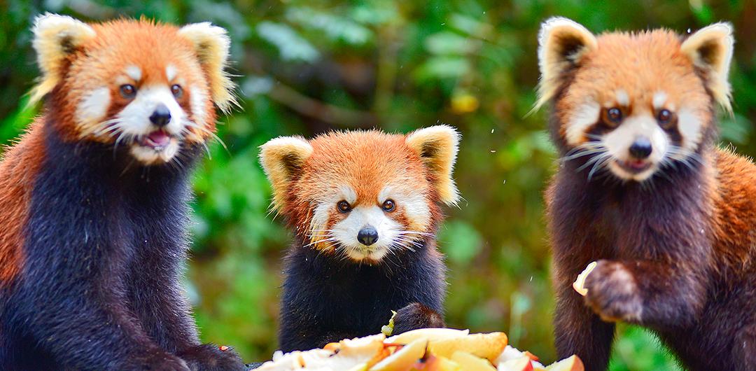 憨態可掬的小熊貓