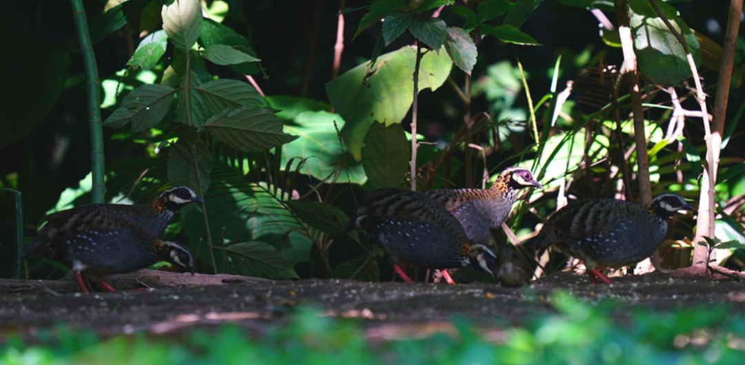 五只白頰山鷓鴣在林間覓食
