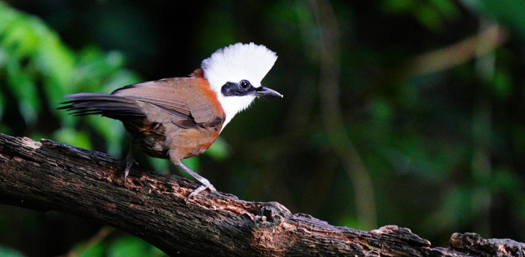 一只白冠噪鹛在樹幹上休憩