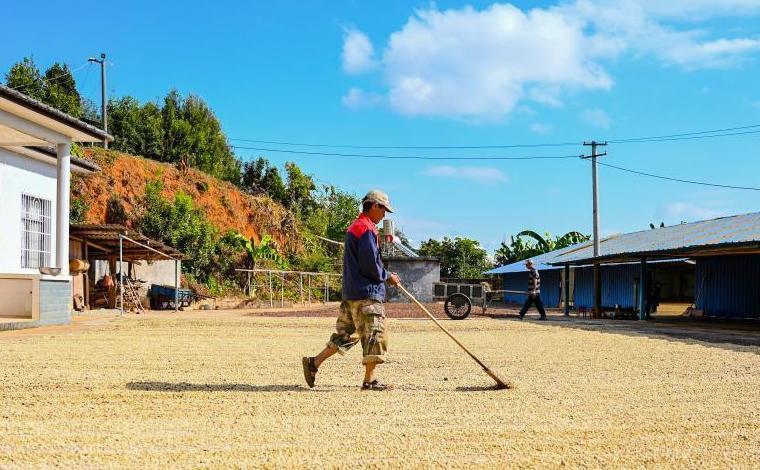 雲南西盟:採摘咖啡曬豆忙