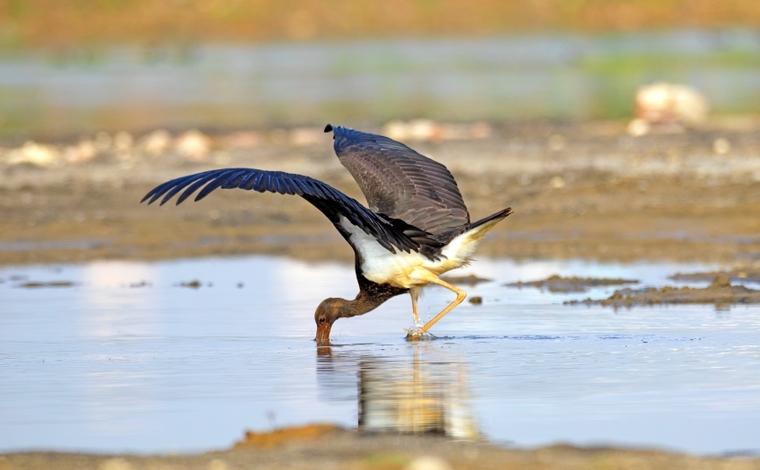7只國家一級保護動物黑鸛現身雲南保山