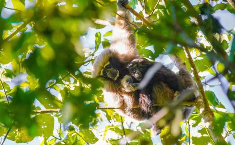 快兩年!這對天行長臂猿母子再次被拍到
