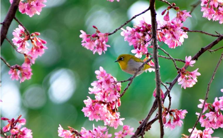 雲南彌勒:櫻花爭相綻放 鳥兒枝頭嬉戲