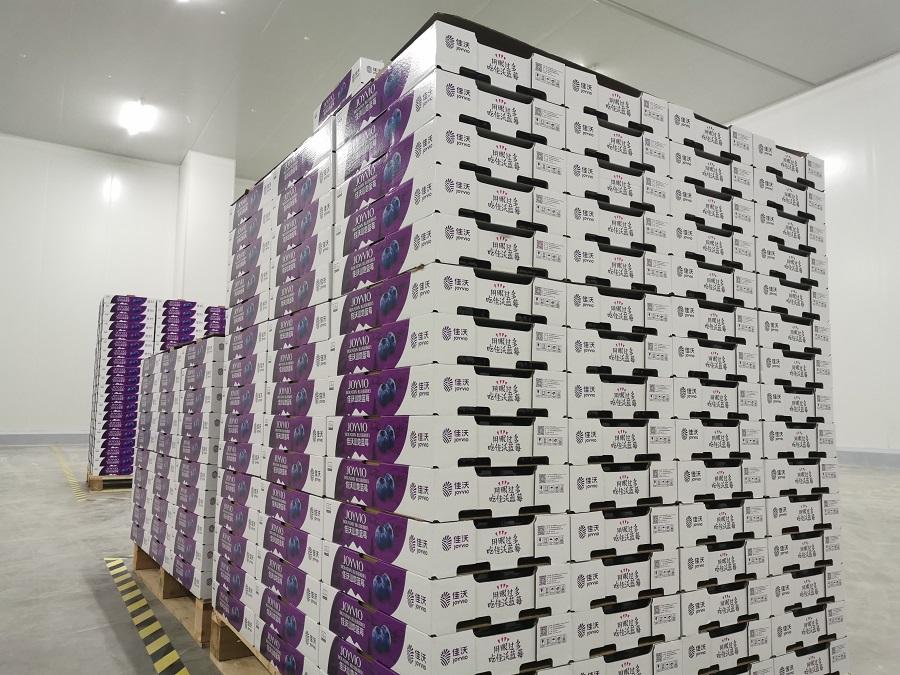 雲南紅河:智慧農業助推藍莓産業發展