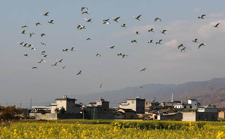 雲南賓川:菜花開 白鷺飛