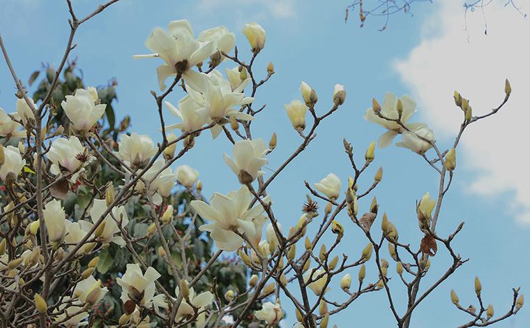 雲南硯山:春日玉蘭格外艷