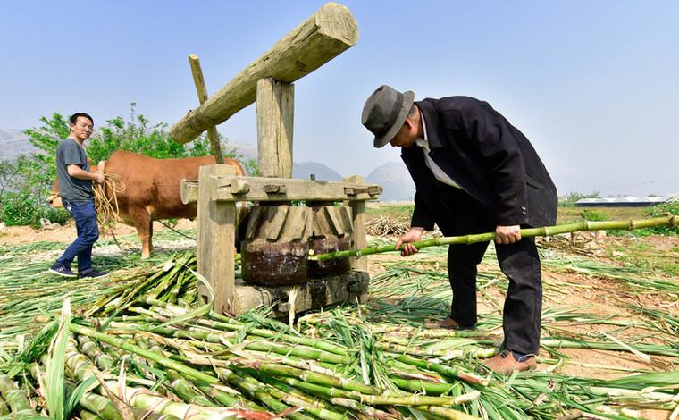 雲南彌勒:古法制糖熬出村民甜蜜生活