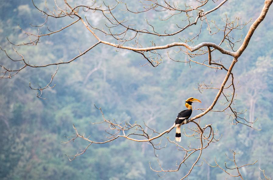 雲南盈江:犀鳥迎春