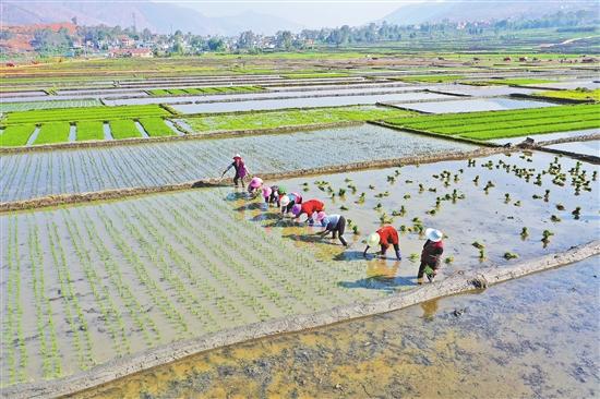 昆明尋甸:千畝稻田插秧忙